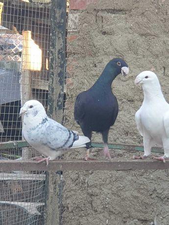 Gołębie niemiecki wystawowe