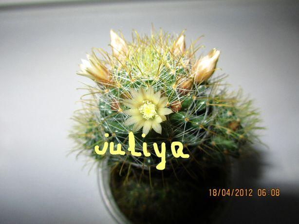 Кактус мамілярія (маммилярия) (Mammillaria) для флораріума