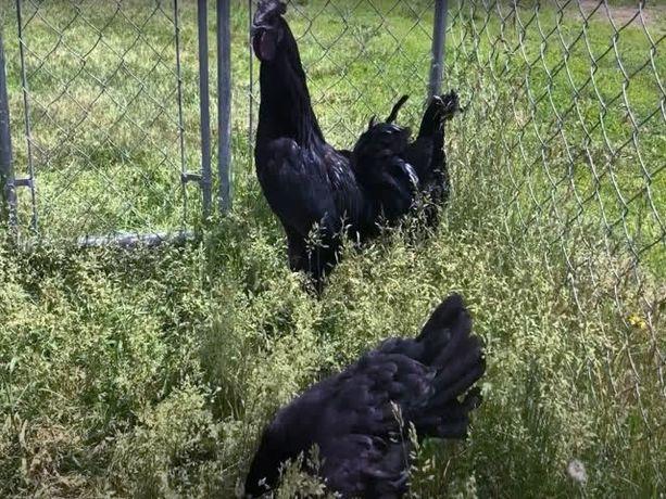 Инкубационные яйца разных пород, Аям Цемани. Чистокровные.