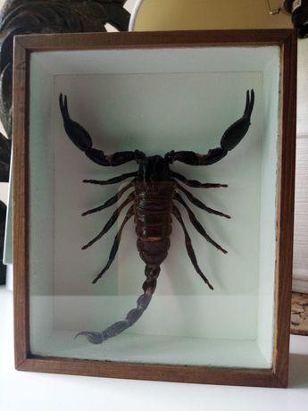 skorpion   heterometrus cyaneus