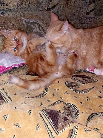 Котёнок Экзотический короткошерстный.