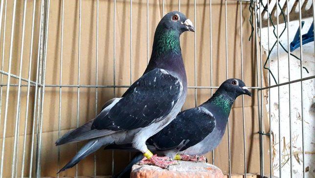 Gołębie pocztowe. Para nr10 lot