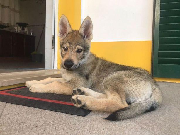Cão Lobo Checoslovaco ( reservado )