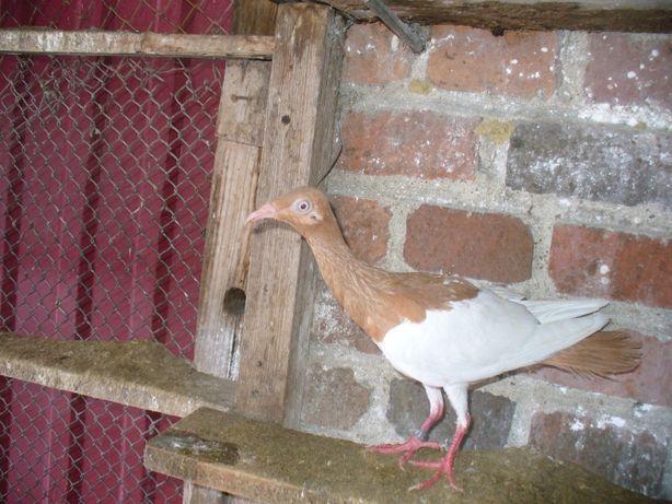 gołębie ozdobne sroka łowicka