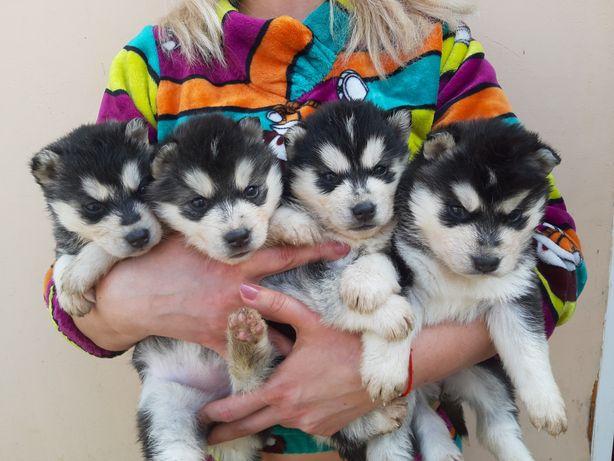 Малыши Сибирской Хаски