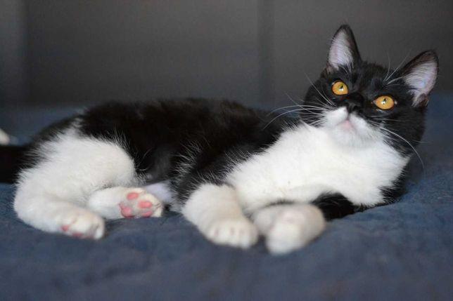 білогруда чорна кішечка з білими лапками 7м