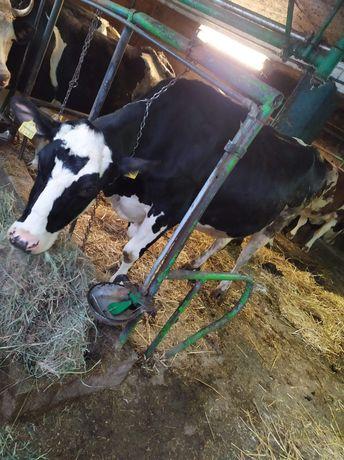Krowa Niemka likwidacja stada
