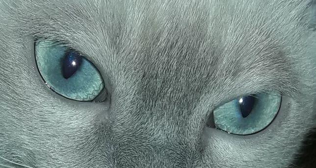 Тонкинский котенок - счастье в Вашем доме!