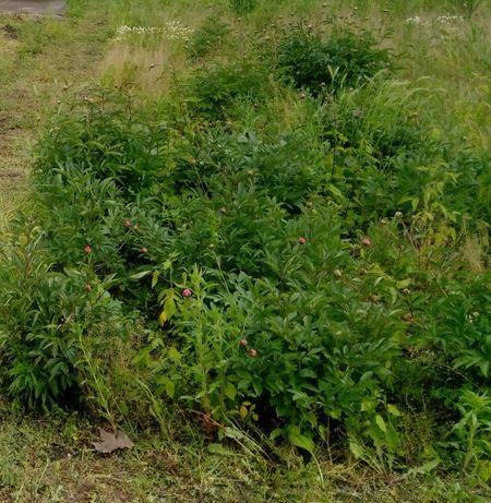 Sadzonki byliny piwonie peonie wielkie Toruń bujony