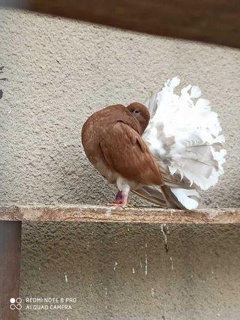 Gołębie ozdobne: pawiki, pawik z 2021r młody