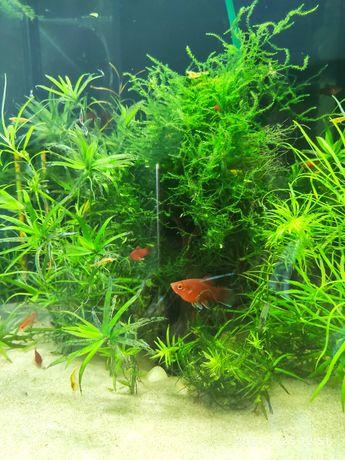 Rybki akwariowe Platka koralowa