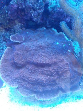 Montipora koralowiec morski