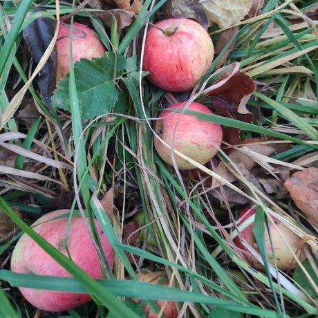 Віддам яблука на сік, варення, корові