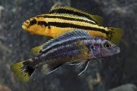 Pyszczak Melanochromis chipokae