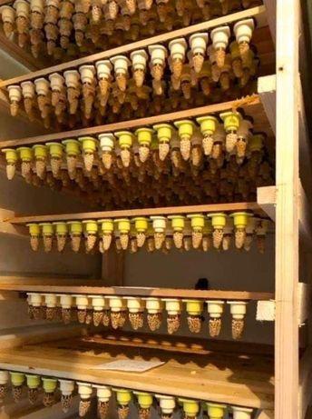 Пчеломатки Карника Тройзек Целле (институт Целле, Германия)