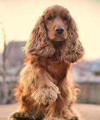 продам собаку породи англійський коккер спаніель хлопчик 2 роки