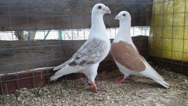 Śląskie tarczowe (gołębie)