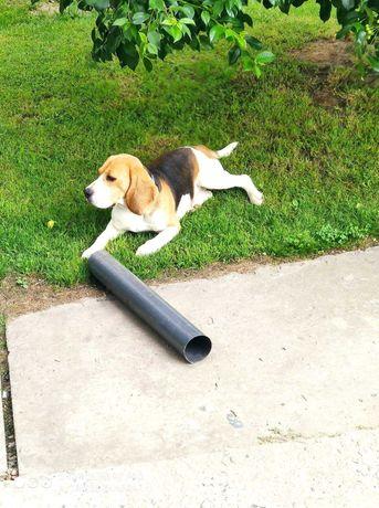Zaginął piesek rasy beagle!