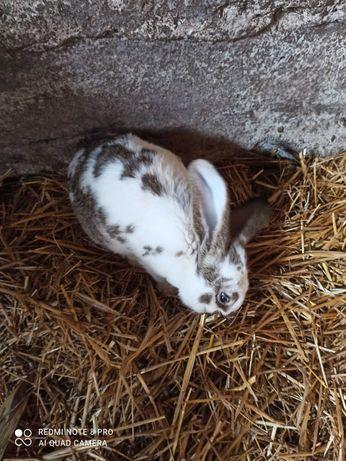 Do sprzedania króliki belgijskie