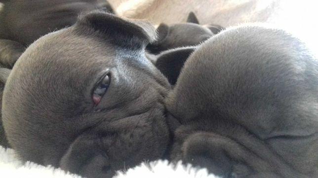 Bulldogue Francês  Azul. Criadora Registada