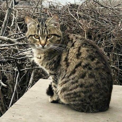 Отдам котенка лесного окраса, мальчик, 7 месяцев