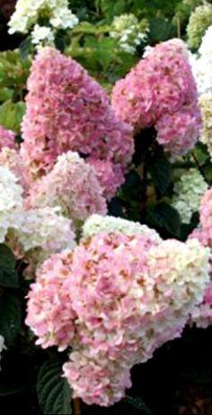 Гортензия метельчатая Сандей Фрейз /Hydrangea paniculata Sundae Fraise