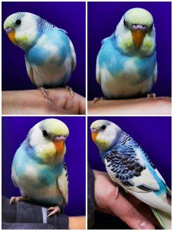 Волнистые попугайчики с клеткой питомник