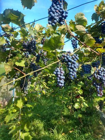 Sprzedam winogrona ciemne