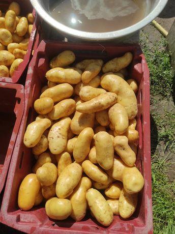 Картопля насіннєва друга репродукція