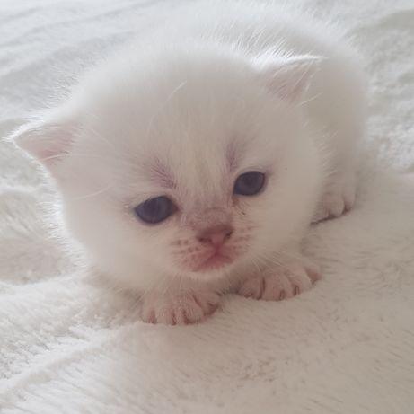 Kot Brytyjski Kocięta Brytyjskie Koty Rodowód Hodowla Srebrny Point