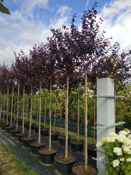 Śliwowiśnia Śliwa Wiśniowa Prunus Cerasifera Pisardii 140-200cm