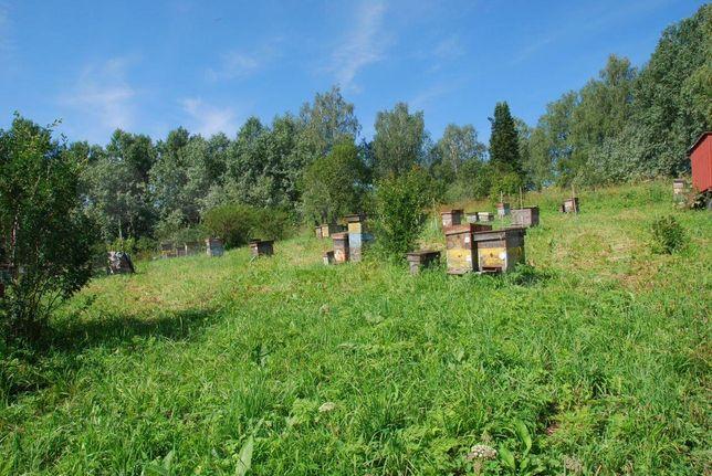 (Бджоломатки-Матки) Скленар-Пешец (Карника) Пчелиные матки