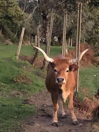 Para venda vaca cahena registada