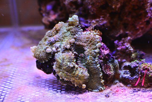 Grzybki rhodactis skalka akwarium morskie
