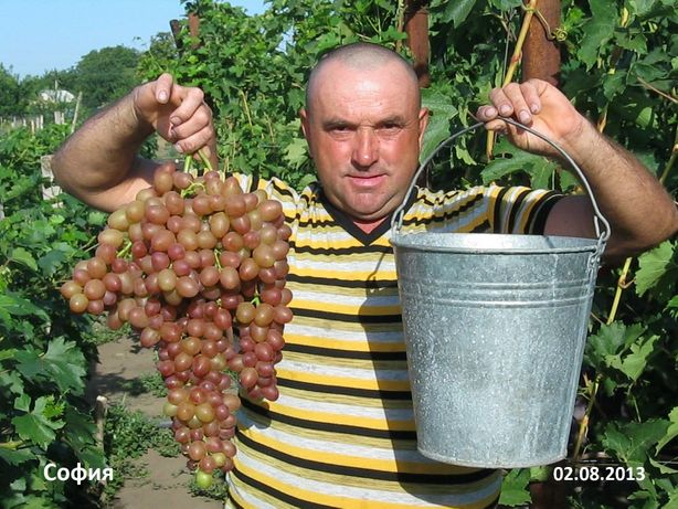 Продам саженцы винограда.