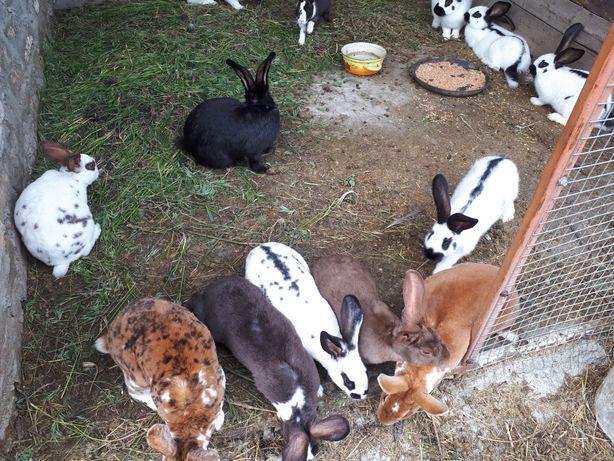 Продам кроликов: строкач, рекс и другие породы