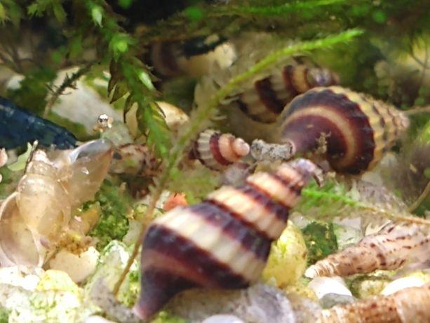 Ślimak Helenka/ślimak na ślimaki/plaga ślimaków
