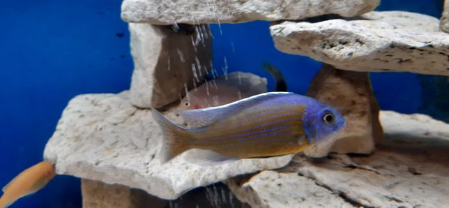 Rybki akwariowe - Pyszczaki - Copadichromis Borleyi Kadango - dorosłe