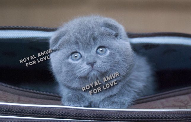 Красиві кошенята дівчинка Белла та хлопчик Бумер