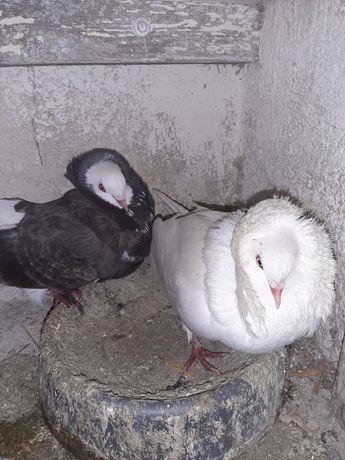 Gołębie kapucyny parka
