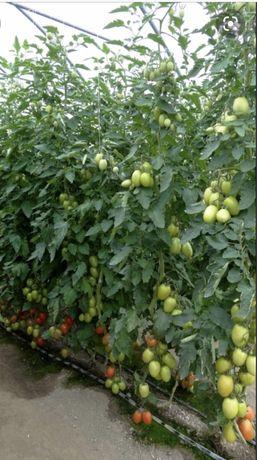 Sprzedam pomidory malinowe lima