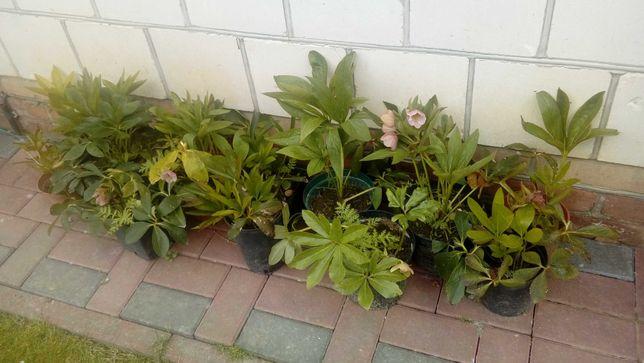 ciemiernik biały i różowy