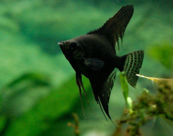 Скалярія чорна.біла .полосата.коі. рибка акваріумна