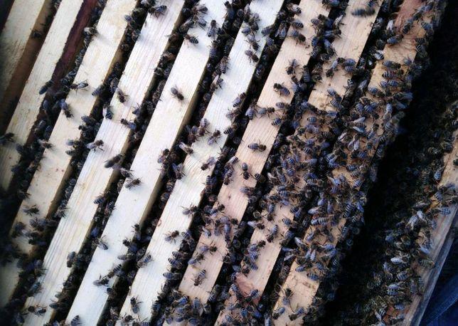 Плодная Пчелиная матка породы Карпатка Бджолина матка
