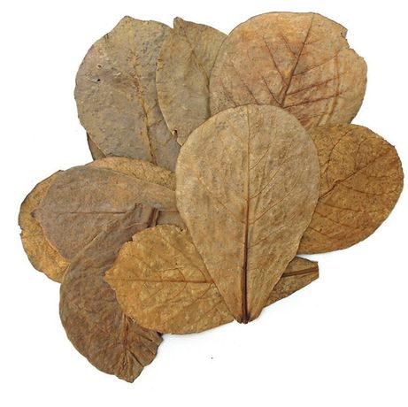 Листья Индийского миндаля