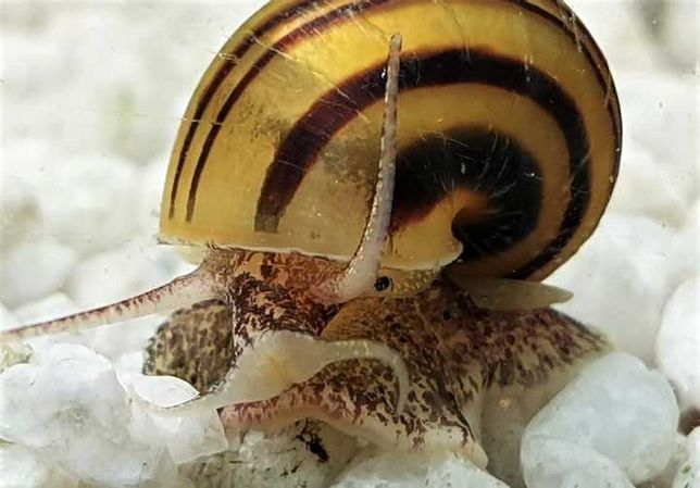 ŚLIMAKA (jak Ampularia) Asolene spixi pogromca innych ślimaków