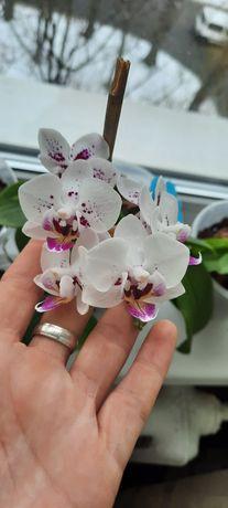 Орхидея Brazil 54303