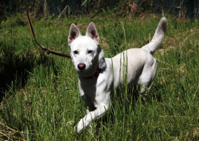 Malutka 9kg biała suczka, mini husky 7 miesięcy, inteligentna, wesoła