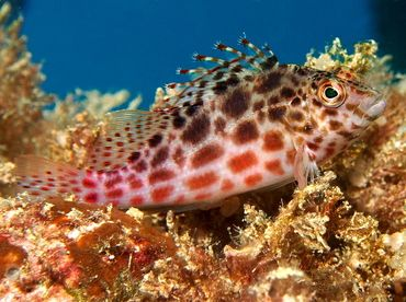 Akwarium morskie - Cirrhithichthys oxycephaus