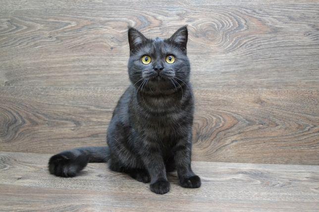 Дымная красавица - шотландская кошечка. Котята